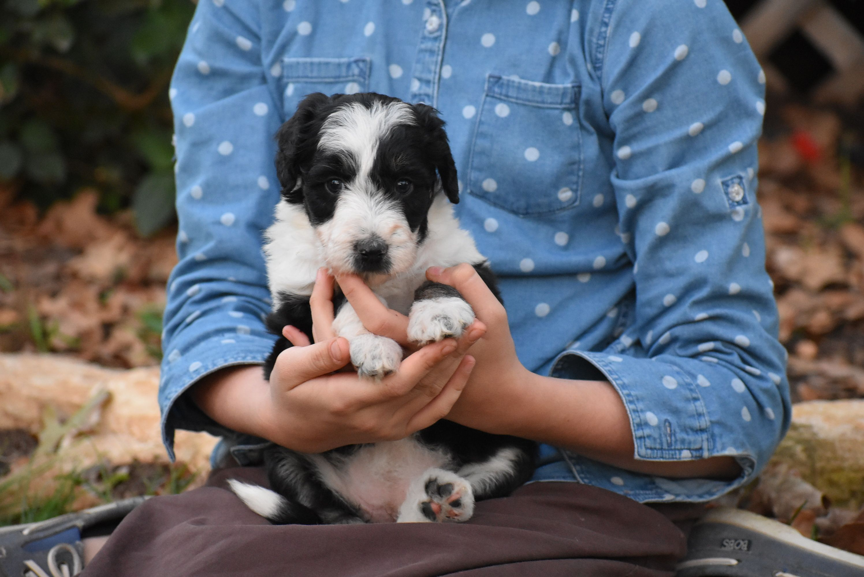 Sparkle 6 Week Old Bordoodle Puppy Poodle Puppies For Sale Poodle Puppy Puppies For Sale