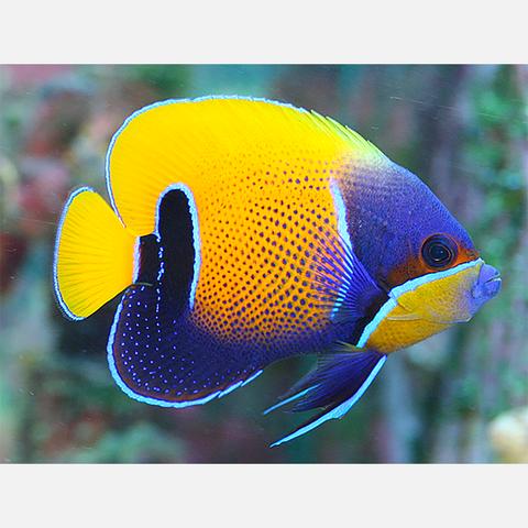 Blue Girdled Majestic Angelfish Pomacanthus Navarchus Angel Fish Pet Fish Aquarium Fish