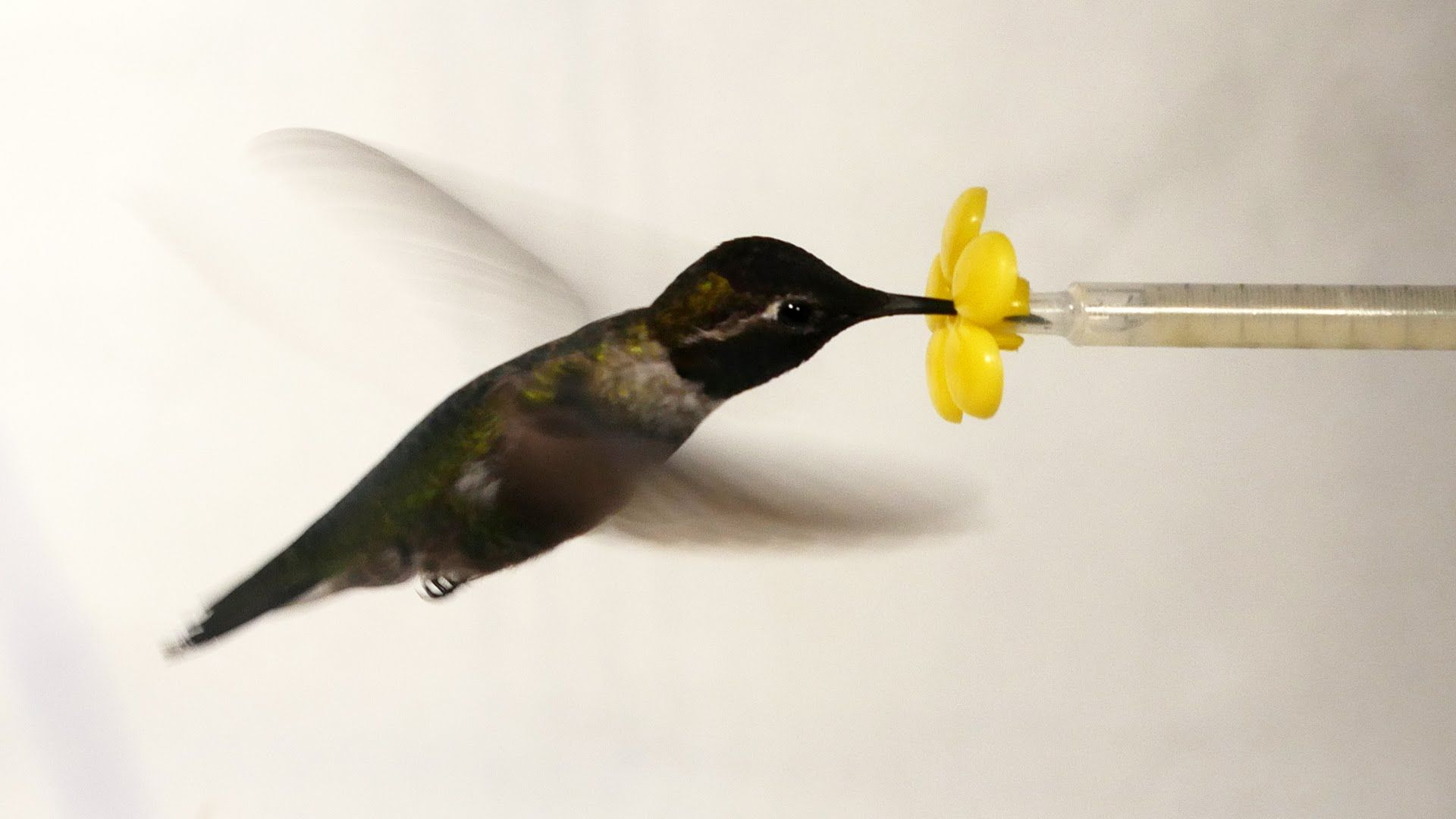 Hummingbirds Fly and Feed Inside a Wind Tunnel While Being
