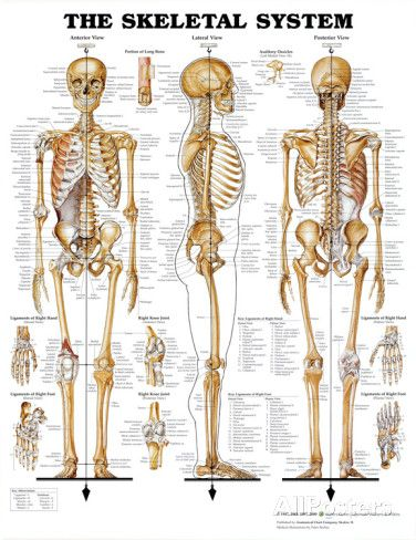 The Skeletal System Anatomical Chart Poster Print | B O N E S ...