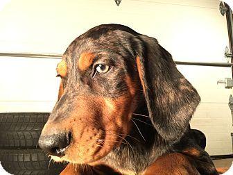 Richfield Wi Australian Shepherd Gordon Setter Mix Meet Thor A Puppy For Adoption Australian Shepherd Puppy Adoption Puppies