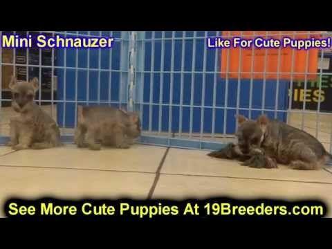 Miniature Schnauzer Puppies For Sale In Jacksonville Florida Fl Tallahassee Gainesville Puppies Schnauzer Puppy Miniature Schnauzer Puppies