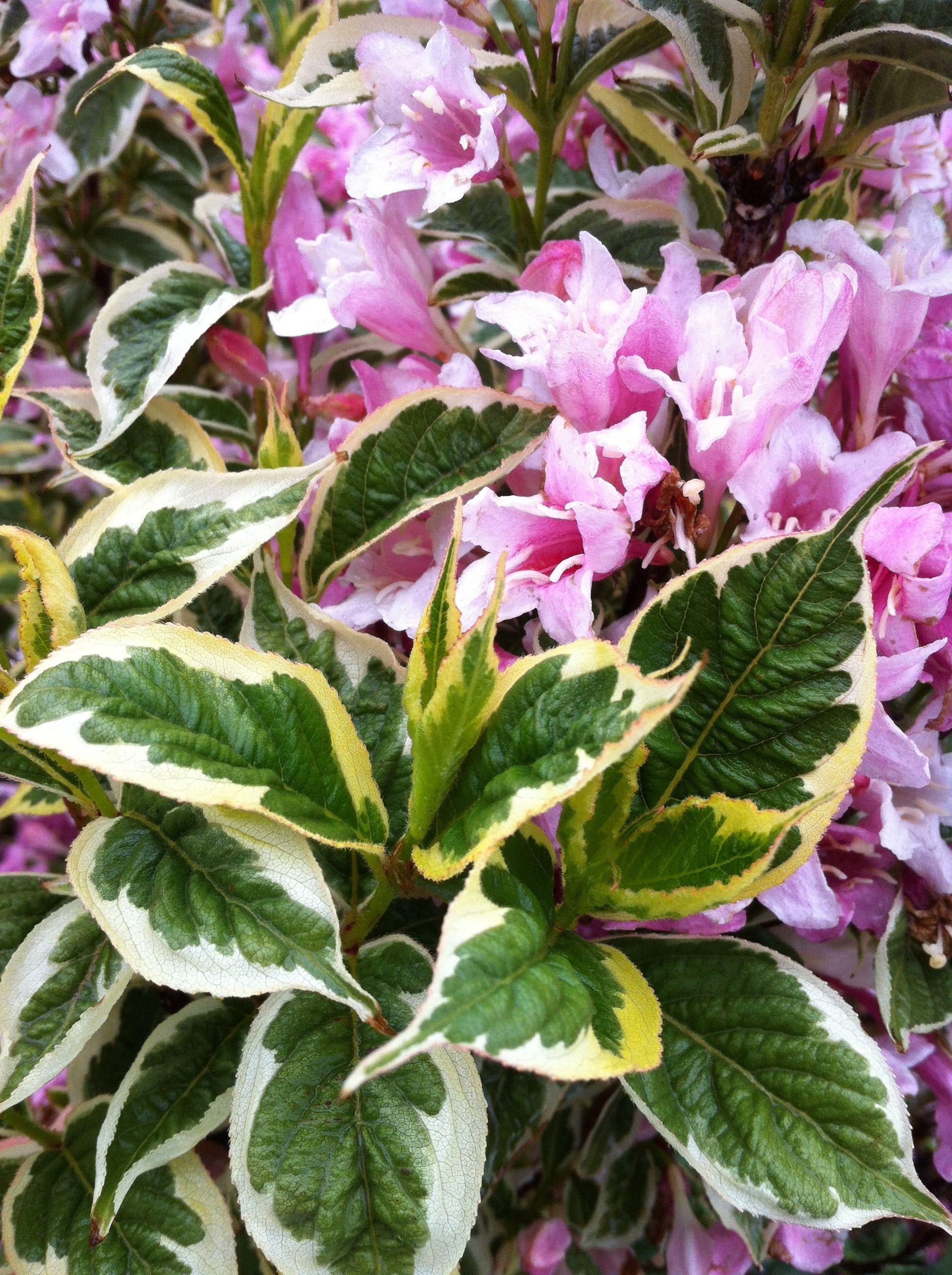 Weigela Florida Nana Variegata 5l Pinky Winky Pink Plants