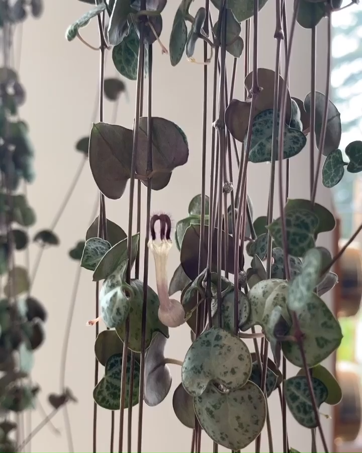 String of hearts: How to care for an propagate the