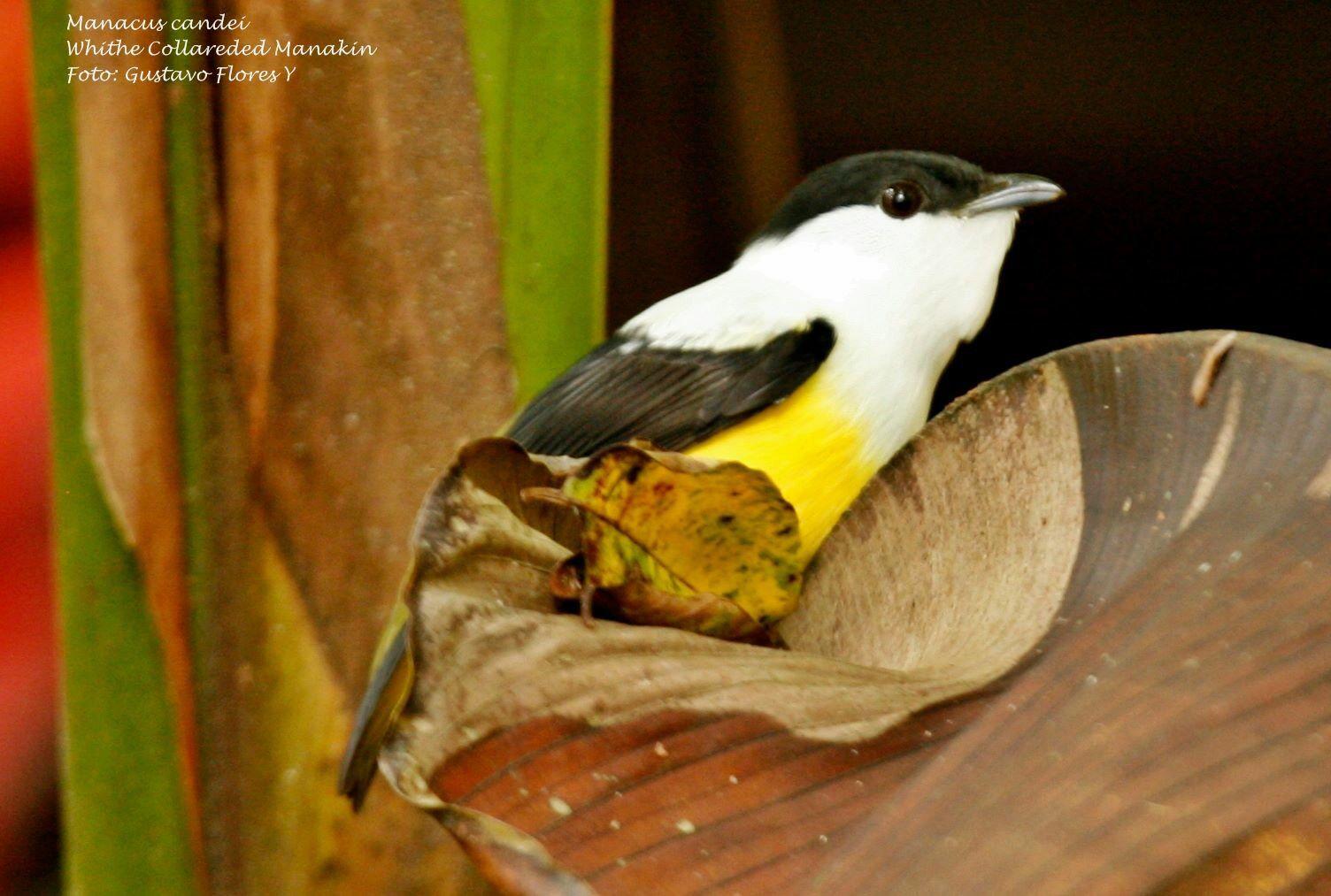 Manacus candei. White collared Manakin. #Aves #Birds #Costaricanbirds