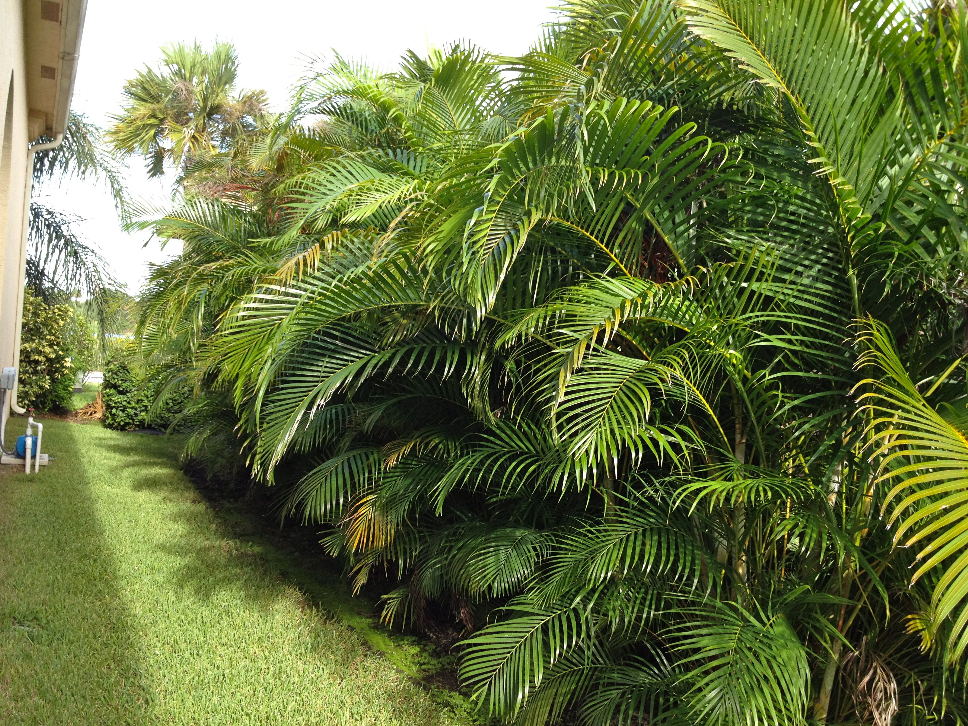 Areca palm buffer pinterior fantasy fortress for Garden design with palms
