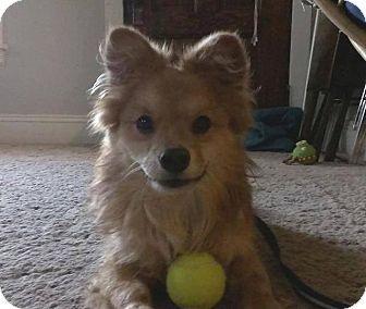 Elyria, OH Pomeranian Mix. Meet Wilson, a dog for