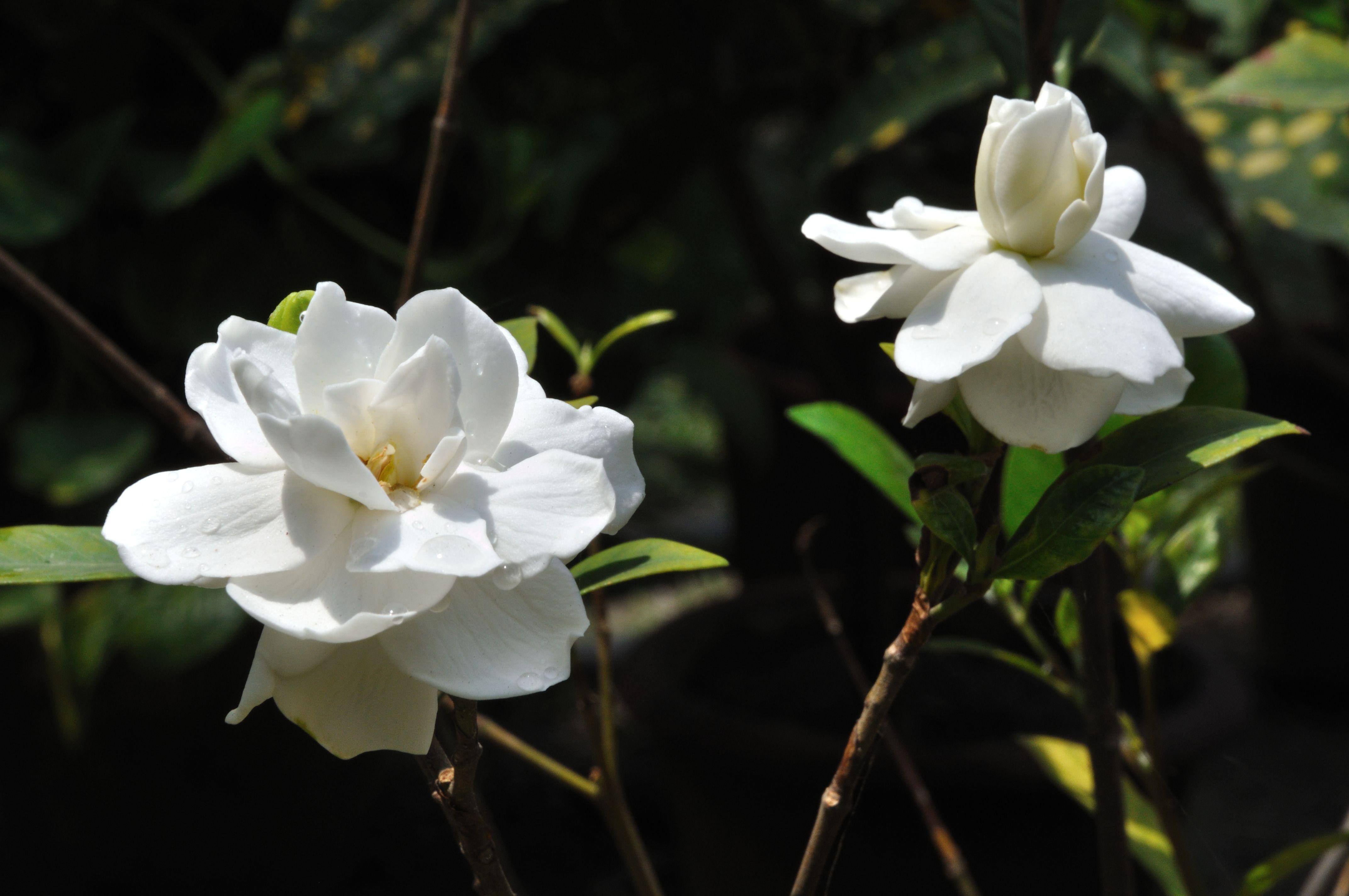 Gandharaj Gardenia Cape Jasmine Gardenia Jasminoides Gardenia Shrub Shrubs For Sale Flower Delivery