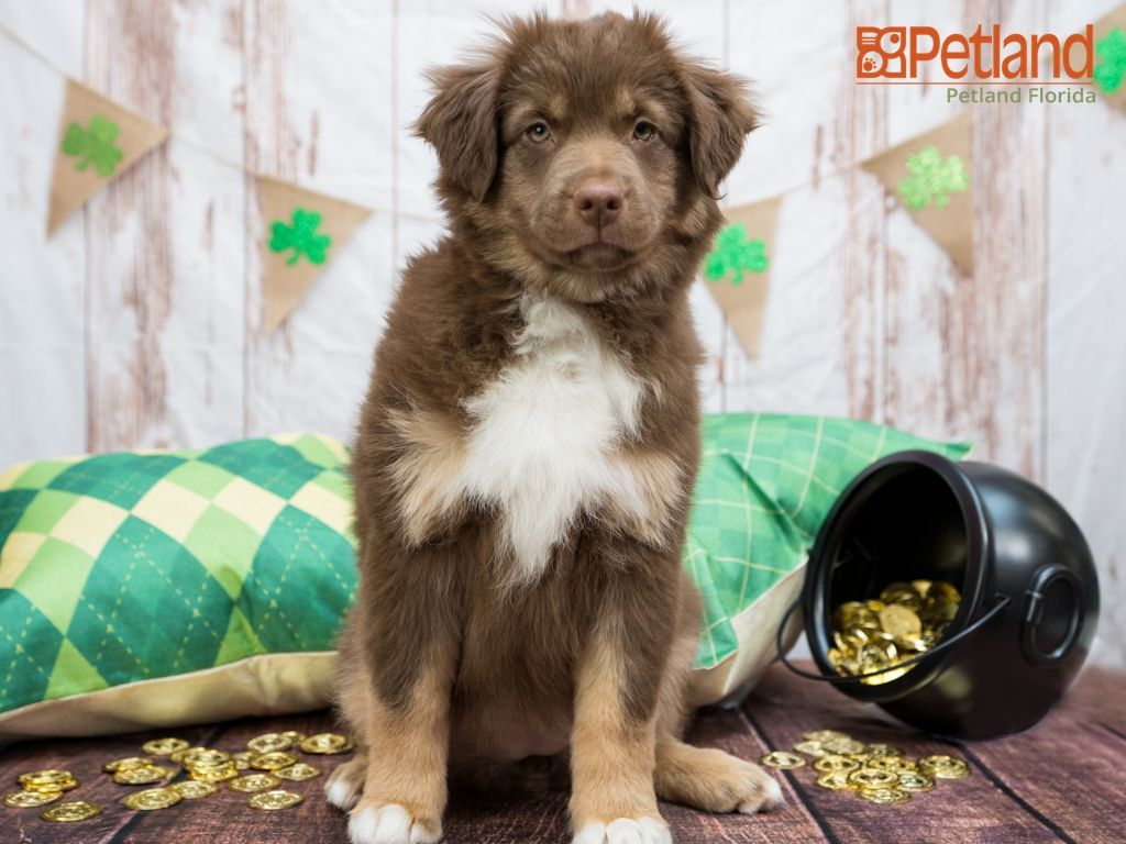 Puppies For Sale In 2020 Puppy Friends Puppies Australian