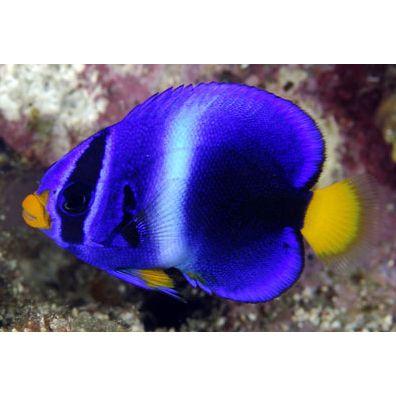 Fresh N Marine Online Aquarium Estore Beautiful Sea Creatures Marine Fish Saltwater Fish Tanks