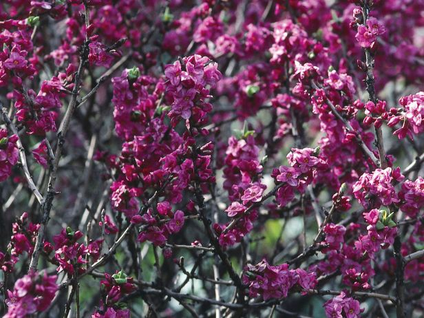 The daphne is a deciduous shrub that produces purple pink flowers in the daphne is a deciduous shrub that produces purple pink flowers in early spring before the leaves appear daphne is fragrant but toxic mightylinksfo