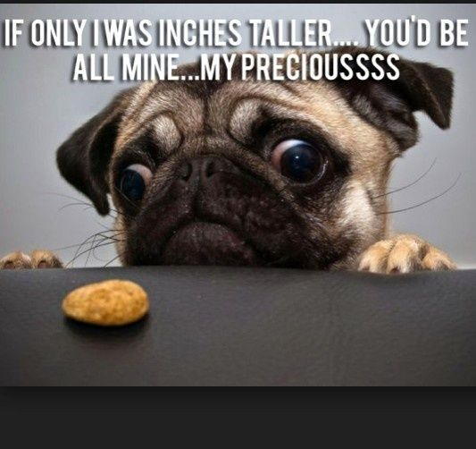 Funny Puppies With Memes Funny Pug Dog Memes Cute Pugs Pugs