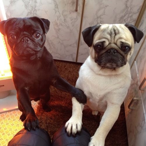 bobdoom: rookie6pug:Mommy, can I have some more cookies ...