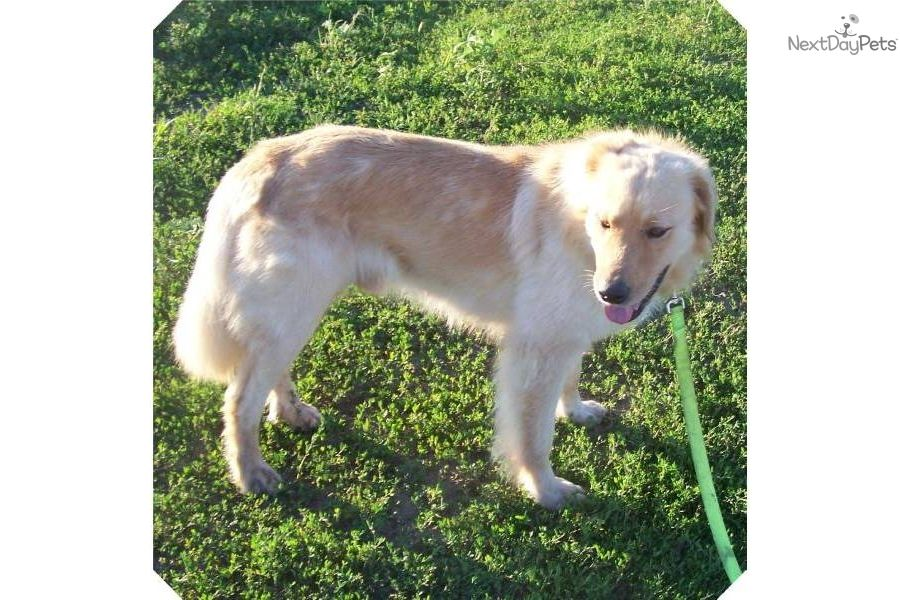 Great Pryness Dog Photo Dave A Cute Great Pyrenees Puppy For Sale For 300 Golden Pyrenees Great Pyrenees Great Pyrenees Puppy Pyrenees Puppies