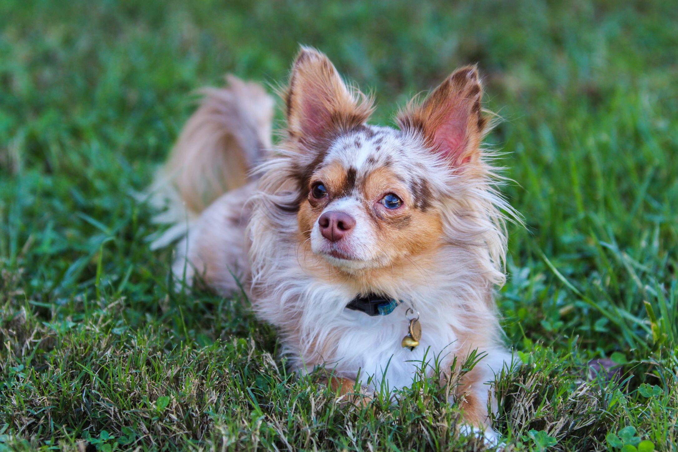 Cooper The Chocolate Merle Chihuahua Chihuahua Love Fluffy Animals