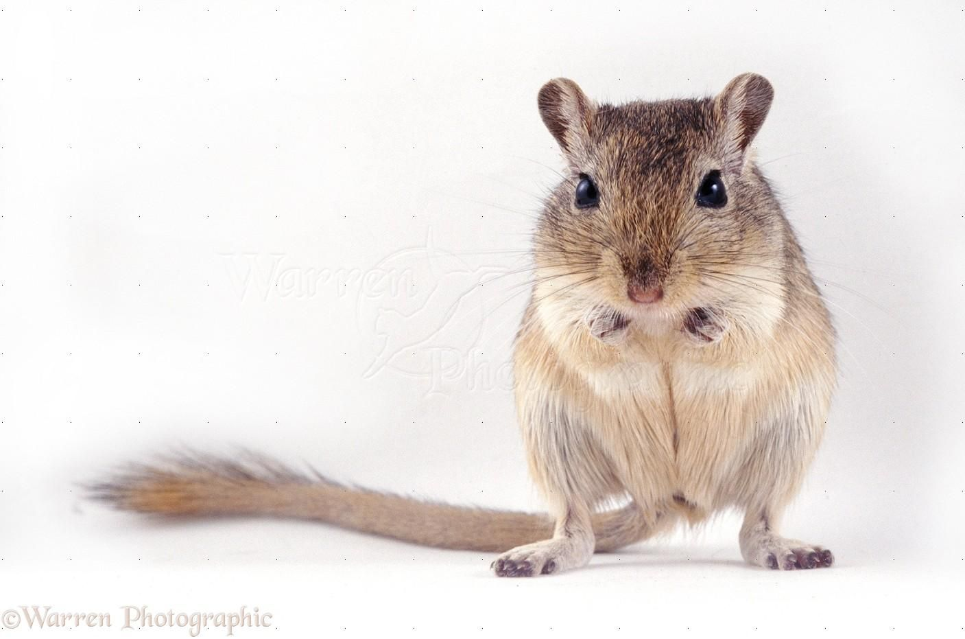 Mongolian Hamster Allocricetulus curtatus