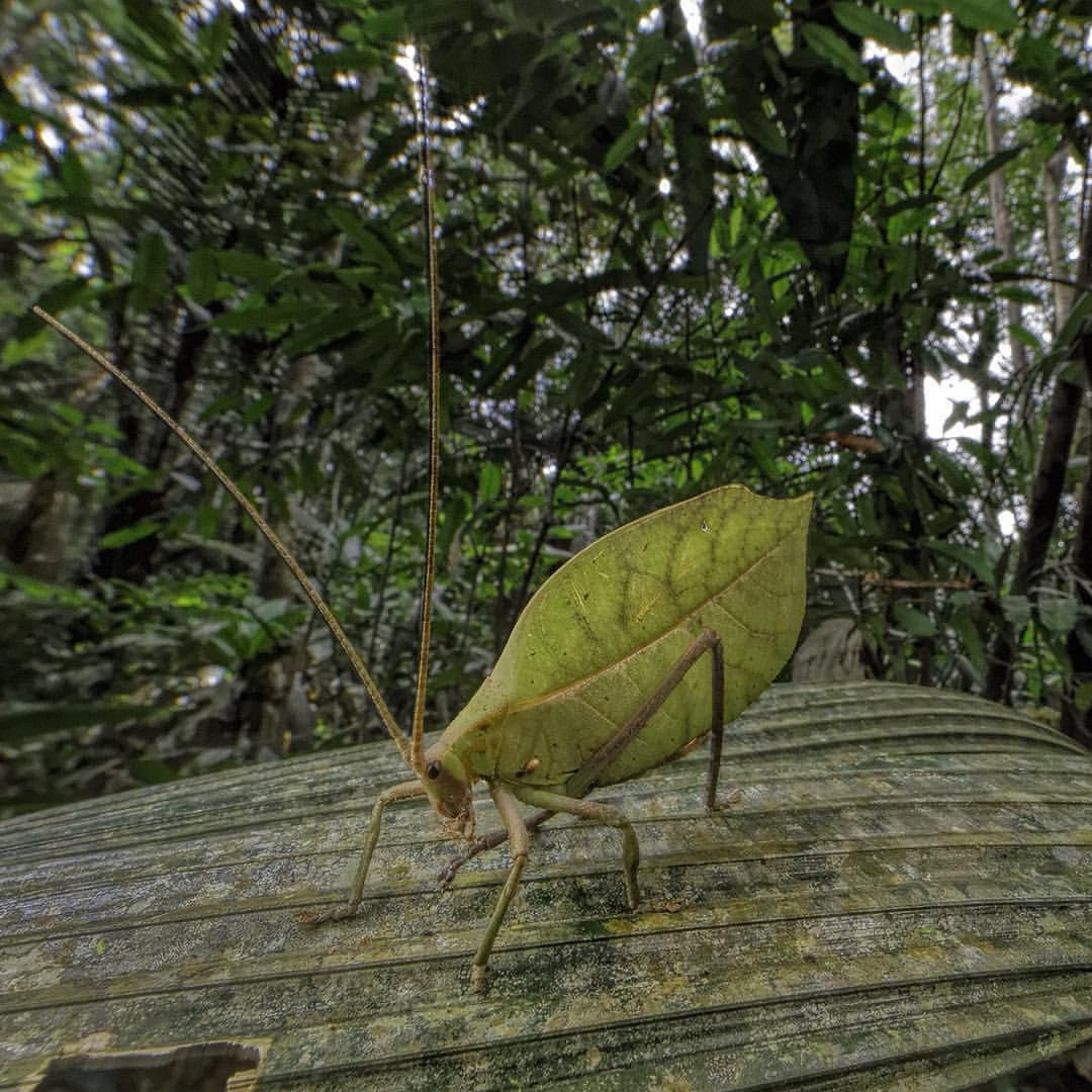 photo by @randyolson | @thephotosociety | This is a false leaf katydid. Genus is Cycloptera. These katydids are sexually dimorphic... the males are smaller... this is a female.
