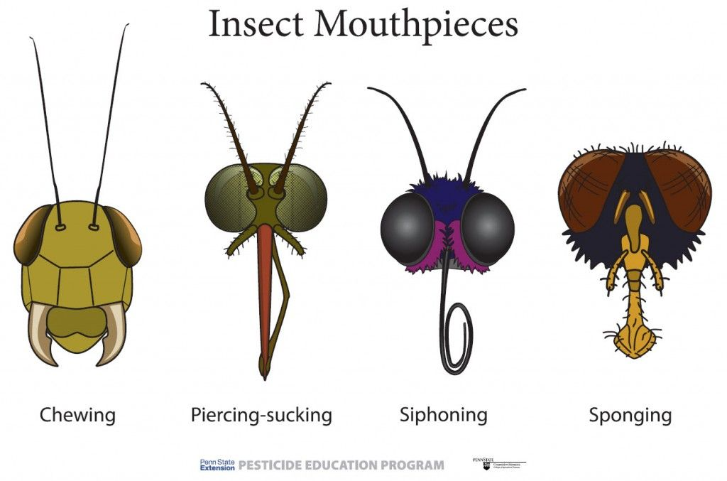 Insect Mouthparts