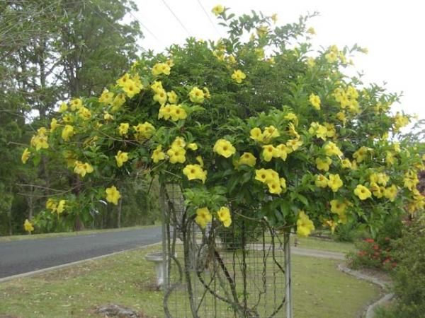 Allamanda Cathartica Yellow Trumpet Vine Household Pinterest