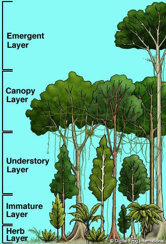 amazon rainforest layers diagram 2005 gmc stereo wiring rain forest classroom