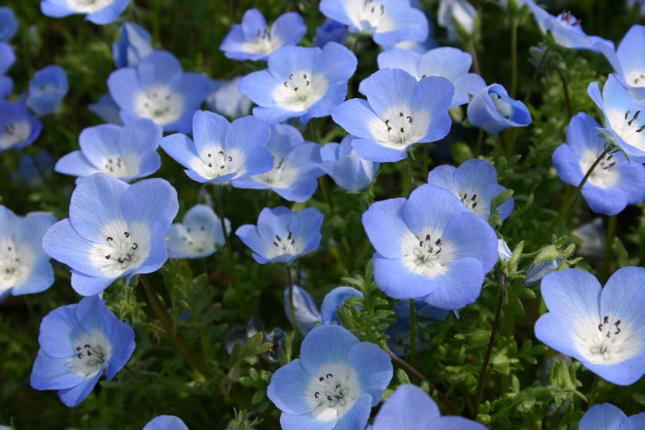 Baby Blue Eyes are a low-growing flower native to both California ...