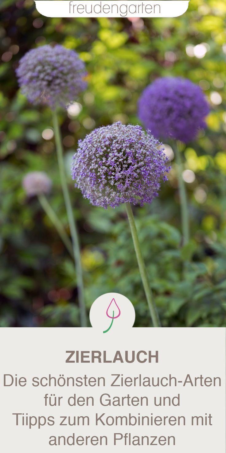 Die 10 Schonsten Allium Sorten Zum Pflanzen Im Herbst Zierlauch Geschickt Kombinieren Um Die Bluten Den Ganzen Som Zierlauch Pflanzen Blumenzwiebeln Pflanzen