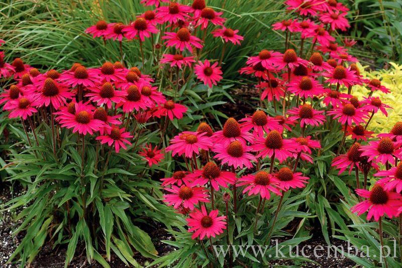 Jezowka Zdjecia Szukaj W Google Flower Landscape Drought Tolerant Perennials Beautiful Flowers