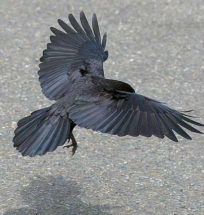Raven - A raven's tail feathers have a round shape, like these. A crow's are squared off.