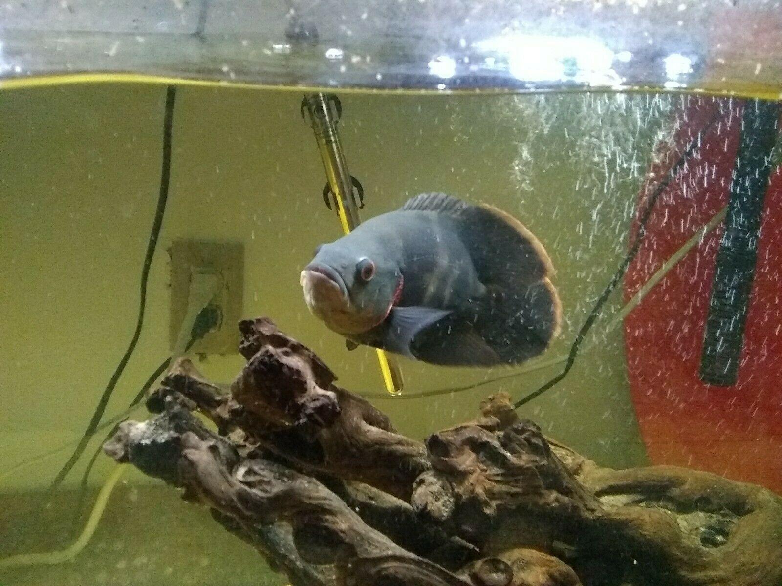 9 Tiger Oscar Oscar Fish Oscar Fish For Sale Tropical Freshwater Fish