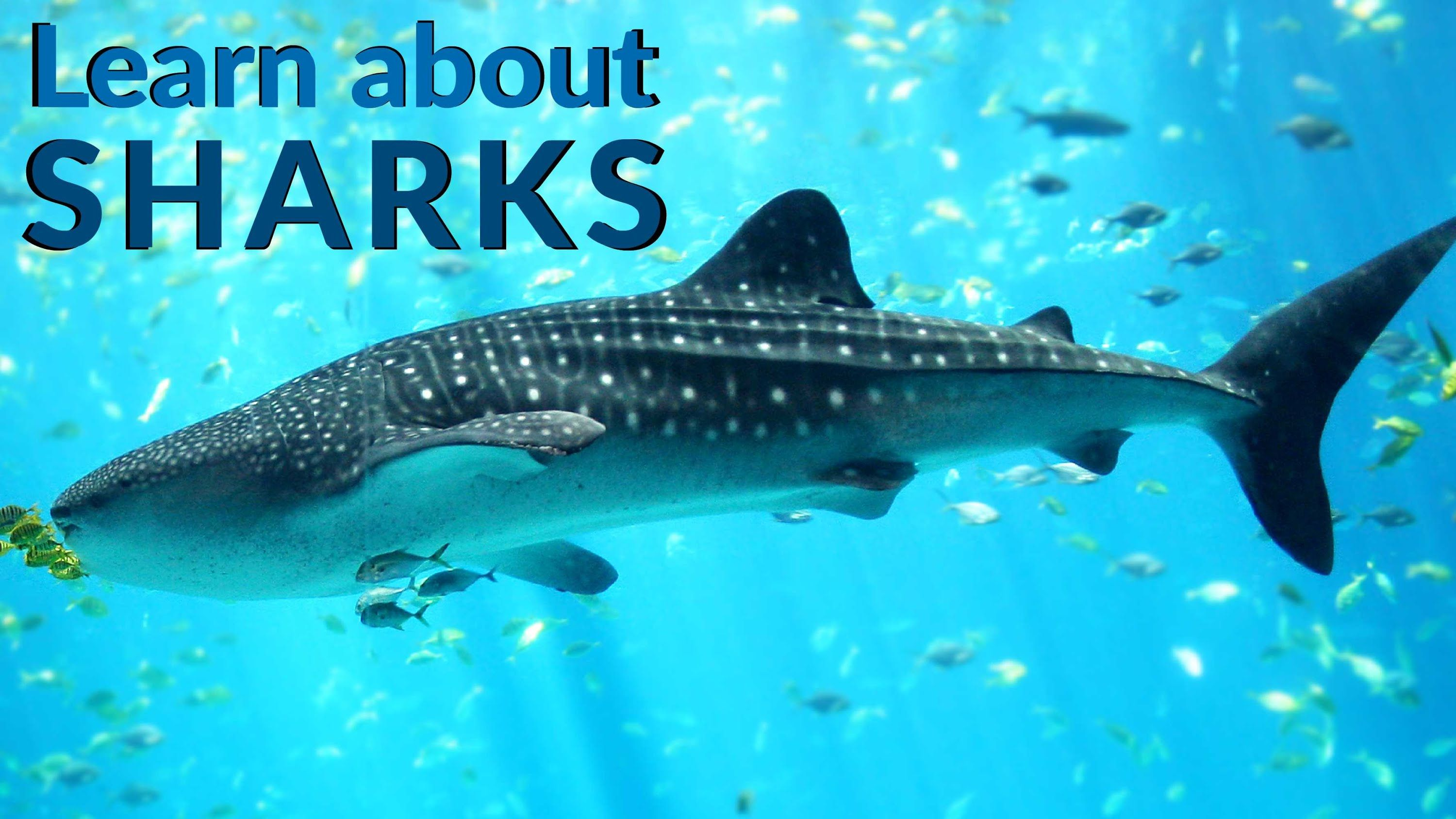 Sharks Are Amazing Fish That Have Been Around Since Long