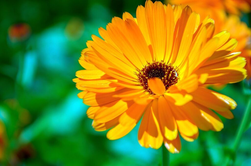Marigold Flower Extract Calendula Officinalis Made From The Hearty Marigold Plant Calendula Has Been Used Throughout The C Calendula Flower Calendula Plants