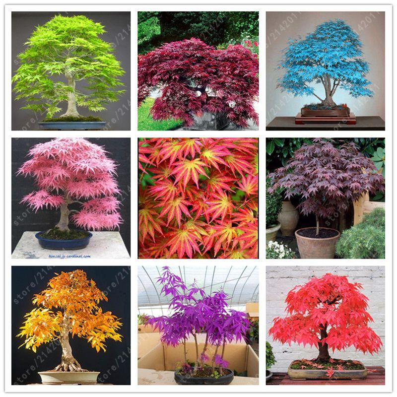 20 semillas de arce japon s unids bolsa toronto maple for 20 plantas ornamentales