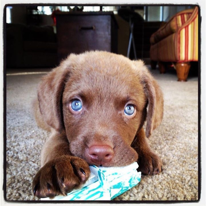 This Is Cale An 8 Week Old Chesapeake Bay Retriever Puppy Cale