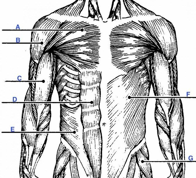 Unlabeled Muscular System