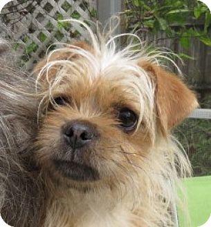 St Petersburg Fl Silky Terrier Yorkie Yorkshire Terrier Mix Meet Obi 1 Cannoli A Puppy For Adoption Hunde