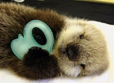 picture of baby sea otter | Orphaned Baby Sea Otter, Alaska [AP 2006-06-21]; Image ONLY