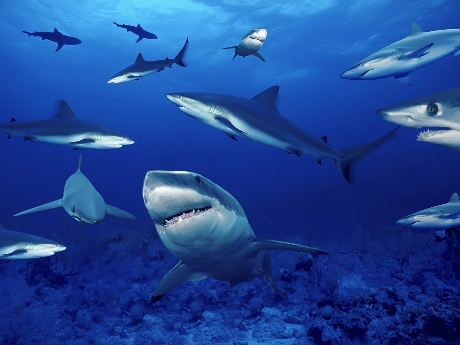 shark shark wallpapers High Definition WallpapersCool