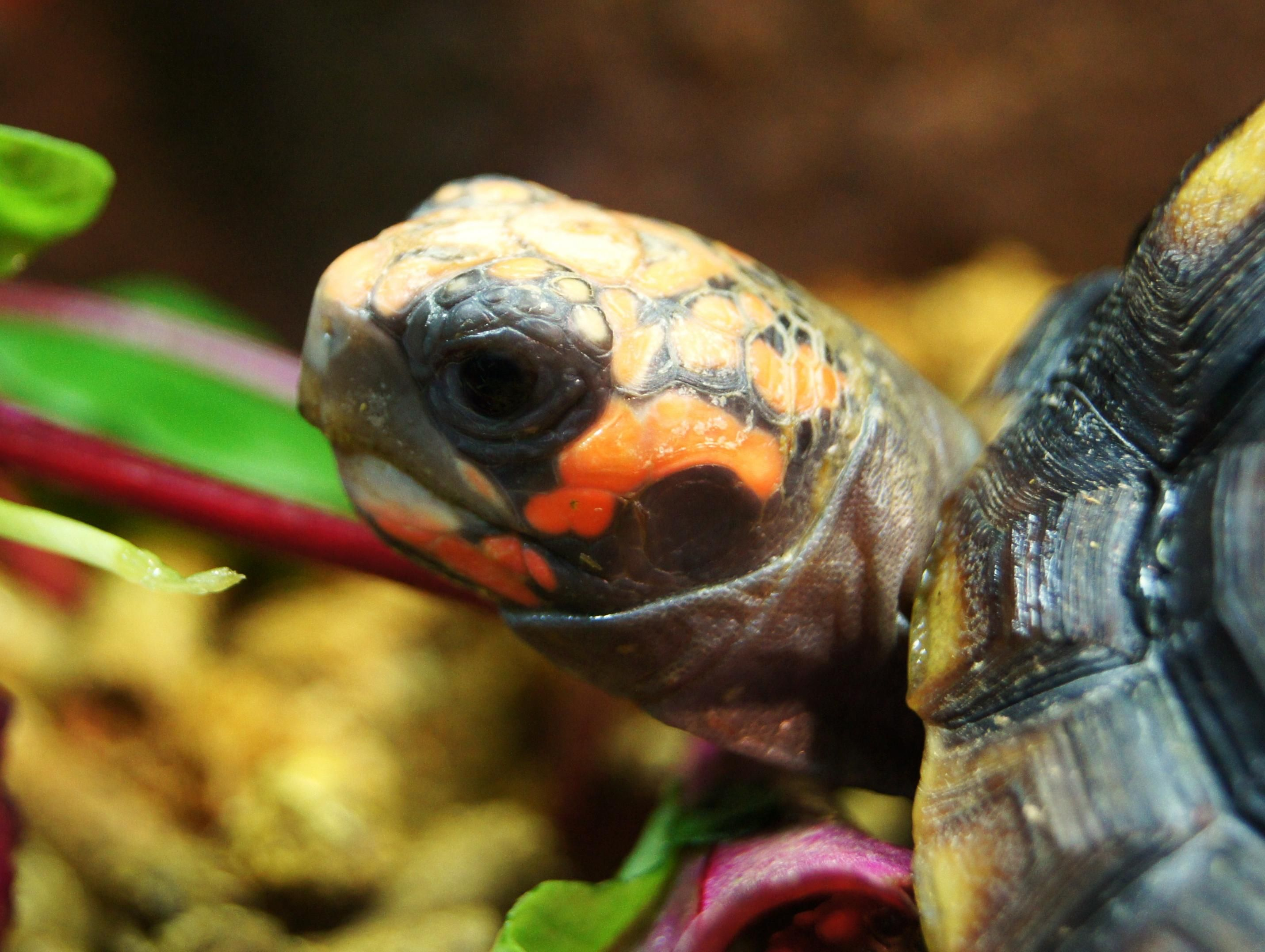 Red footed tortoise for sale-dsc05607-2-.jpg