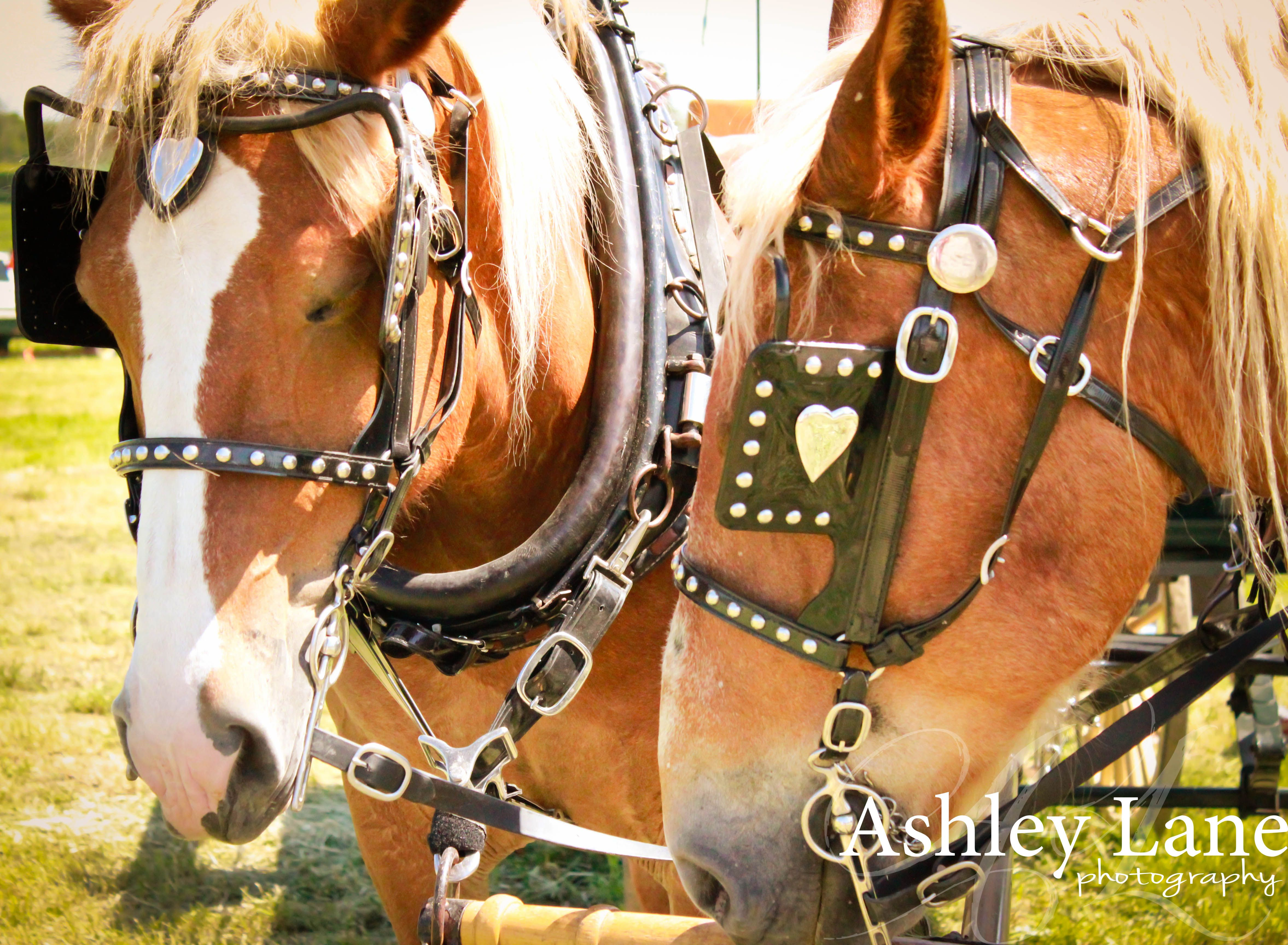 photography; horses