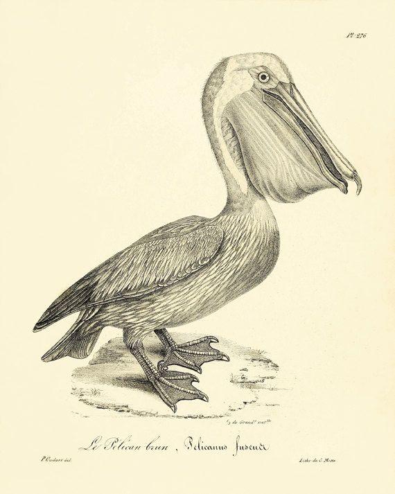 Pelican art Bird Print Nature print Antique by AntiqueWallArt, $10.00