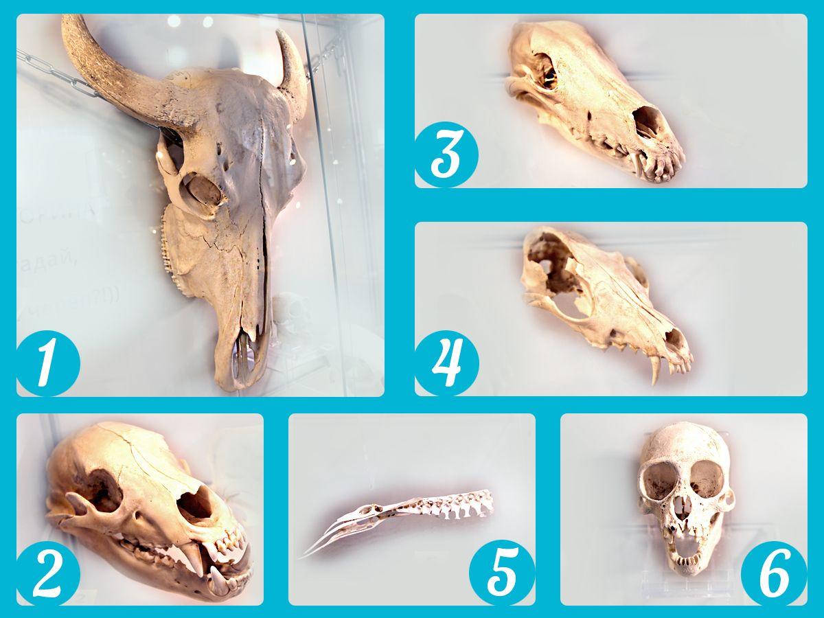 Попробуйте угадать, чьи это черепа. Часть 1