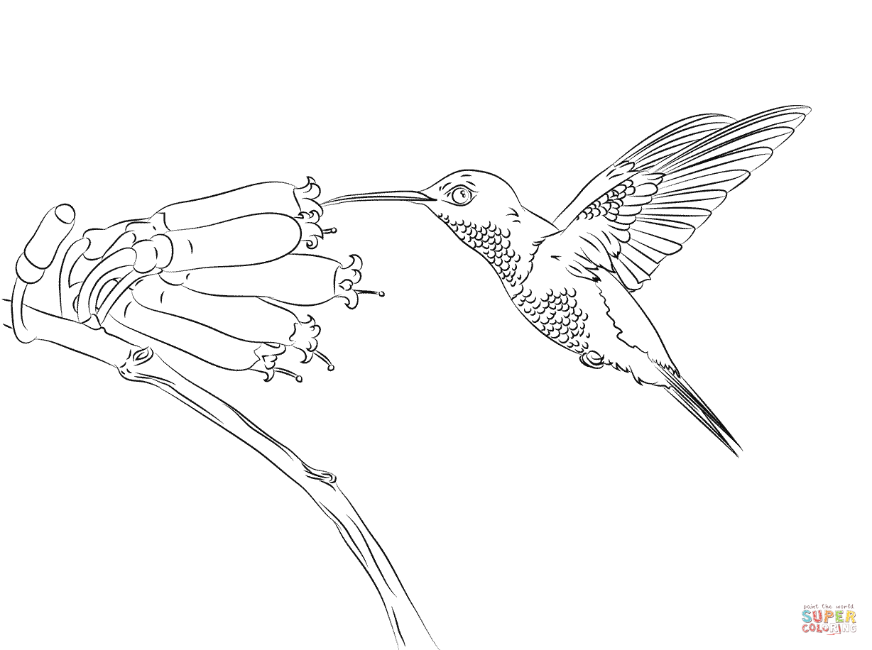 Hummingbird Coloring Pages 916
