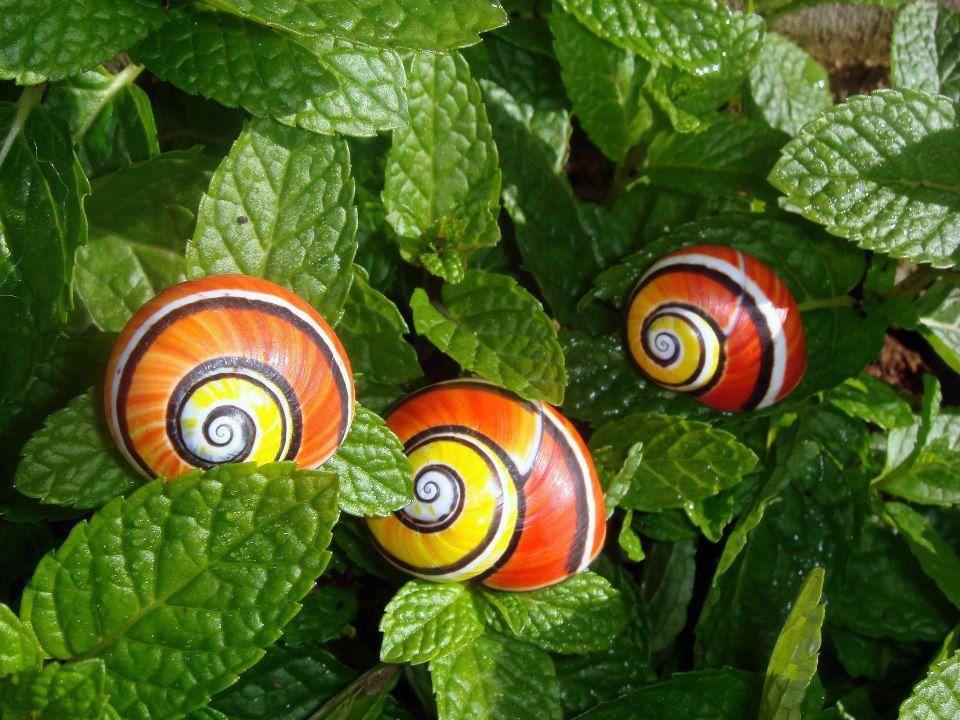 Polimita Snails, Cuba | Snail, Animals, Snail art