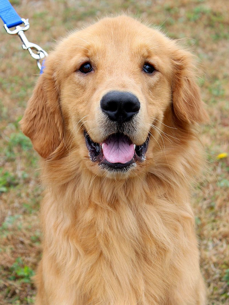 Pin by Helen Liu on Animals Golden retriever rescue