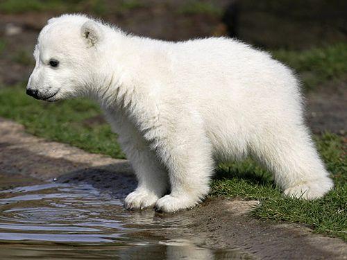 Klein Knut Little Icebear Baby Knut Baby Polar Bears Polar
