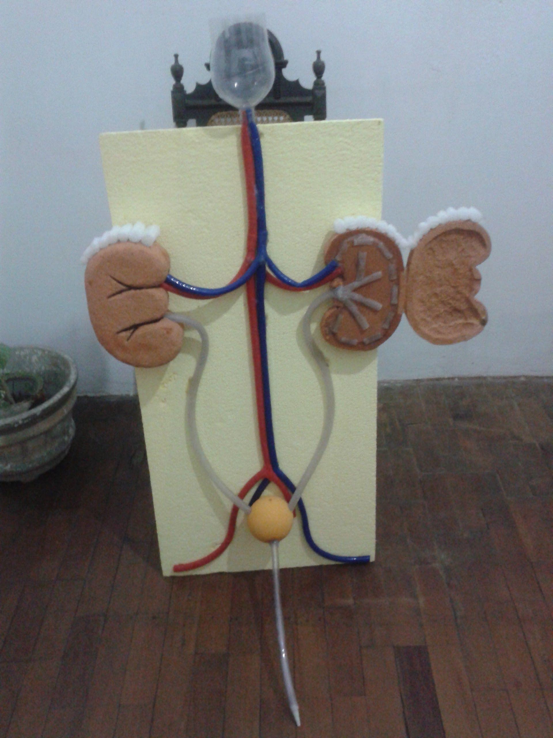Maquete funcional sistema urinário | Extras | Pinterest | Biología ...