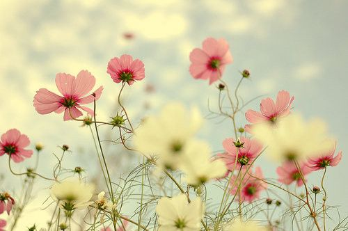 beautiful, beauty, bloom, blossoms, clouds, cosmos2