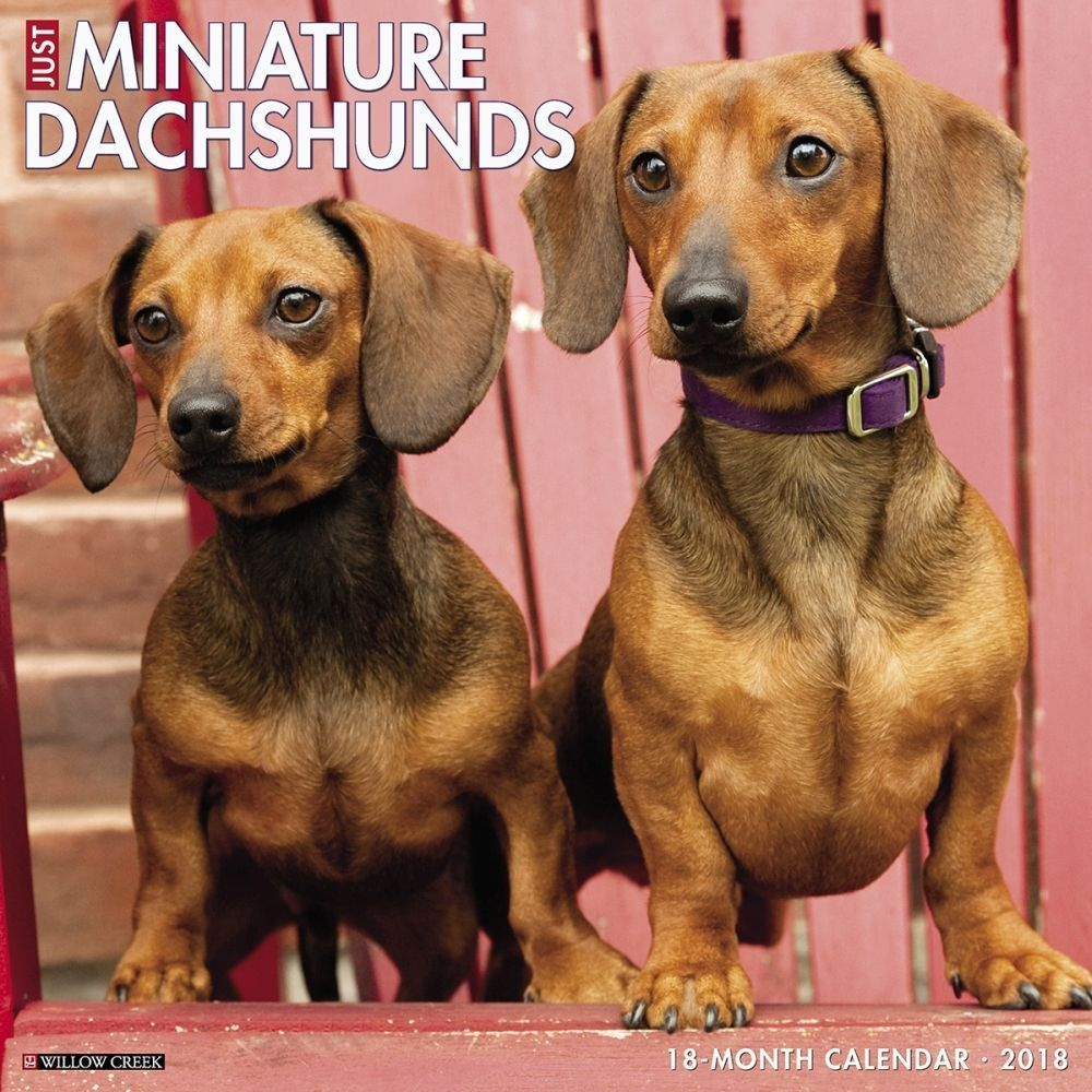 Just miniature dachshunds wall calendar dachshund dachshund