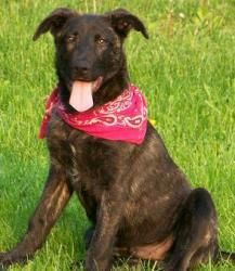Arthur Is An Adoptable Belgian Shepherd Malinois Dog In Morgantown Wv Arthur Is A 35 Lb Lab Belgium Shep Mix 4 Mont Malinois Dog Belgian Shepherd Malinois