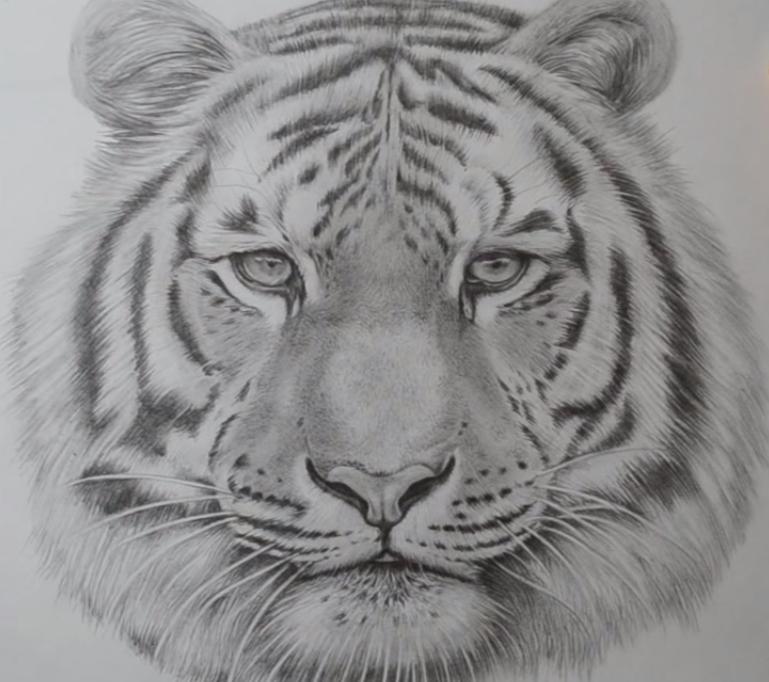 Pin By Luiz Roberto On Tiger Tiger Drawing Tiger Face Drawing Realistic Animal Drawings